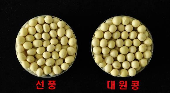 선풍 품종과 대원콩 품종 비교.
